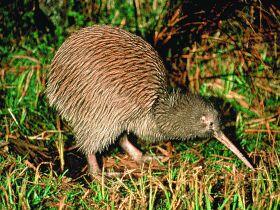 http://novzelandiya.ru/img/pages/Новозеландская фауна