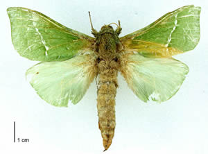 http://novzelandiya.ru/img/pages/Моль Пурири (Aenetus virescens)