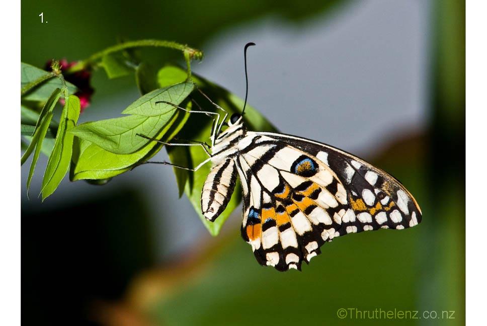 http://novzelandiya.ru/img/pages/Новозеландские бабочки