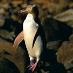http://novzelandiya.ru/img/pages/Желтоглазый пингвин