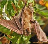 http://novzelandiya.ru/img/pages/Футлярокрылые летучие мыши