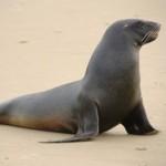 http://novzelandiya.ru/img/pages/Новозеландский морской лев
