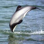 http://novzelandiya.ru/img/pages/Дельфин Гектора
