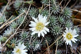http://novzelandiya.ru/img/pages/Рулия – одно из самых необычных растений планеты