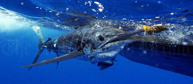 http://novzelandiya.ru/img/pages/Океаническая рыба
