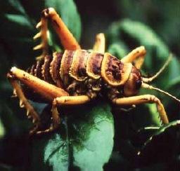 http://novzelandiya.ru/img/pages/Насекомые компенсируют недостаток млекопитающих в Новой Зеландии