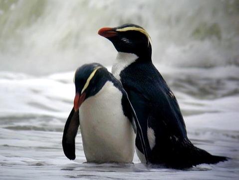 http://novzelandiya.ru/img/pages/Толстоклювый хохлатый пингвин